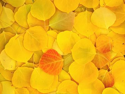 https://imgc.allpostersimages.com/img/posters/usa-california-sierra-nevada-mountains-fallen-aspen-leaves_u-L-Q1D0DM40.jpg?p=0