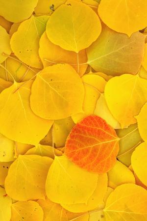 https://imgc.allpostersimages.com/img/posters/usa-california-sierra-nevada-mountains-fallen-aspen-leaves_u-L-Q1D0HI50.jpg?p=0
