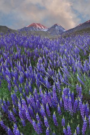 https://imgc.allpostersimages.com/img/posters/usa-california-sierra-nevada-range-blooming-inyo-bush-lupine-flowers_u-L-Q1CZYG60.jpg?p=0