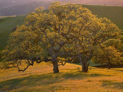https://imgc.allpostersimages.com/img/posters/usa-california-south-coast-range-valley-oaks-and-grasses-glow-in-sunset-light_u-L-Q12TAP60.jpg?p=0