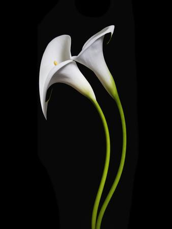 https://imgc.allpostersimages.com/img/posters/usa-california-two-calla-lily-flowers_u-L-Q1D0K420.jpg?p=0