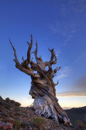 https://imgc.allpostersimages.com/img/posters/usa-california-white-mountains-bristlecone-pine-tree-at-sunset_u-L-Q1D02AS0.jpg?p=0