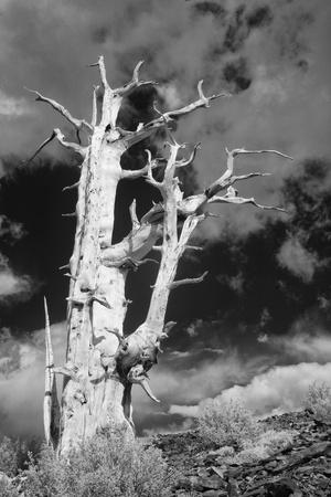 https://imgc.allpostersimages.com/img/posters/usa-california-white-mountains-bristlecone-pine-tree-in-black-and-white_u-L-Q1D0D7T0.jpg?p=0