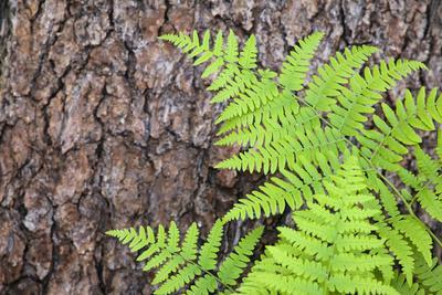 https://imgc.allpostersimages.com/img/posters/usa-california-yosemite-national-park-fern-leaves-against-a-pine-tree-trunk_u-L-Q1D0H290.jpg?p=0