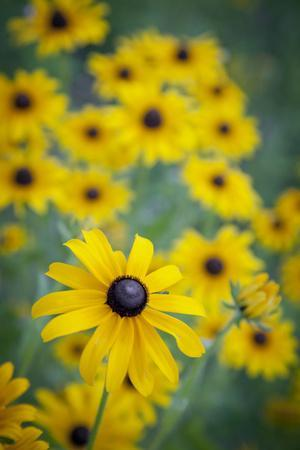 https://imgc.allpostersimages.com/img/posters/usa-carmel-indiana-cluster-of-black-eyed-susan-s-in-indiana_u-L-Q1GC3NR0.jpg?artPerspective=n