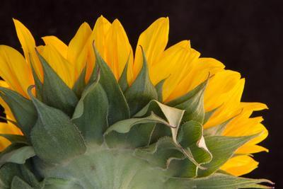 https://imgc.allpostersimages.com/img/posters/usa-carmel-indiana-the-back-of-a-sunflower-has-twists-and-curves_u-L-Q1GC20U0.jpg?artPerspective=n