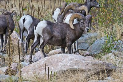 https://imgc.allpostersimages.com/img/posters/usa-colorado-drake-grazing-group-of-bighorn-sheep-rams_u-L-Q1D0OIX0.jpg?p=0