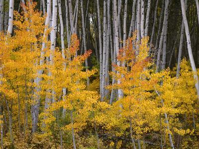 https://imgc.allpostersimages.com/img/posters/usa-colorado-grand-mesa-national-forest-aspen-grove-with-fall-color-and-white-trunks_u-L-Q12T5GK0.jpg?p=0