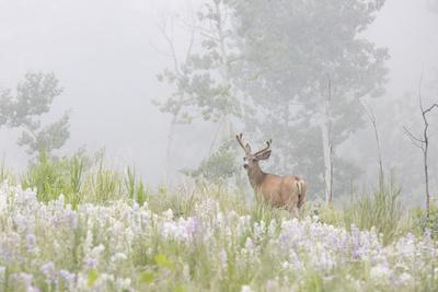 https://imgc.allpostersimages.com/img/posters/usa-colorado-pike-national-forest-a-male-mule-deer-in-foggy-meadow_u-L-Q12TC780.jpg?artPerspective=n