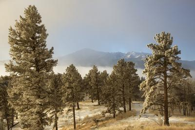 https://imgc.allpostersimages.com/img/posters/usa-colorado-pike-national-forest-frost-on-ponderosa-pine-trees_u-L-Q12TC9S0.jpg?p=0
