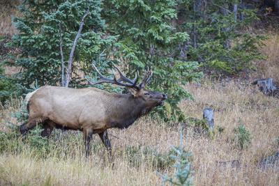 https://imgc.allpostersimages.com/img/posters/usa-colorado-rocky-mountain-national-park-male-elk-bugling_u-L-Q1D0QGA0.jpg?p=0