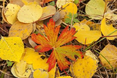 https://imgc.allpostersimages.com/img/posters/usa-colorado-san-juan-mountains-geranium-and-aspen-leaves_u-L-Q1D0RN30.jpg?artPerspective=n