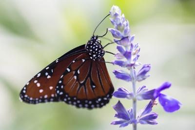 https://imgc.allpostersimages.com/img/posters/usa-florida-celebration-florida-viceroy-butterfly_u-L-Q1D0VH00.jpg?p=0