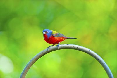 https://imgc.allpostersimages.com/img/posters/usa-florida-immokalee-painted-bunting_u-L-Q1D0OKG0.jpg?artPerspective=n