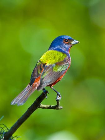 https://imgc.allpostersimages.com/img/posters/usa-florida-immokalee-painted-bunting_u-L-Q1D0OOD0.jpg?p=0