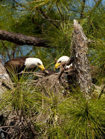 https://imgc.allpostersimages.com/img/posters/usa-florida-north-ft-meyers-american-bald-eagle-pair-at-nest_u-L-Q1D0NCM0.jpg?p=0