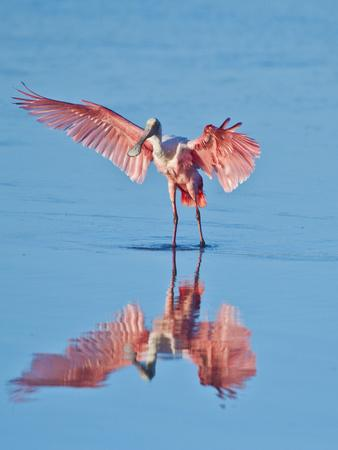 https://imgc.allpostersimages.com/img/posters/usa-florida-sanibel-island-ding-darling-national-wildlife-reserve-roseate-spoonbill_u-L-Q1D0PN30.jpg?p=0