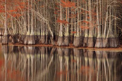 https://imgc.allpostersimages.com/img/posters/usa-georgia-twin-city-cypress-trees-and-reflections-in-the-fall_u-L-Q1D0NJT0.jpg?p=0