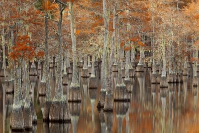 https://imgc.allpostersimages.com/img/posters/usa-georgia-twin-city-cypress-trees-with-moss-in-the-fall_u-L-Q1D0PAD0.jpg?p=0