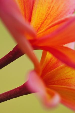 https://imgc.allpostersimages.com/img/posters/usa-hawaii-kauai-of-flowering-plumeria-flowers_u-L-Q1D0PGT0.jpg?p=0