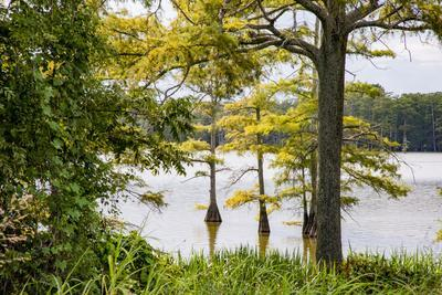 https://imgc.allpostersimages.com/img/posters/usa-mississippi-mississippi-river-basin-cypress-in-beaverdam-lake_u-L-Q1H24XP0.jpg?artPerspective=n