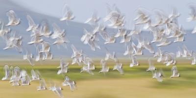 https://imgc.allpostersimages.com/img/posters/usa-montana-red-rock-lakes-flock-of-franklyns-gulls-in-flight_u-L-PU3FNI0.jpg?p=0