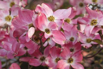 https://imgc.allpostersimages.com/img/posters/usa-oregon-keizer-flowering-dogwood-in-neighborhood_u-L-Q12TC710.jpg?p=0