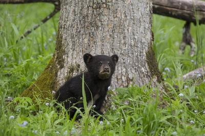 https://imgc.allpostersimages.com/img/posters/usa-tennessee-great-smoky-mountains-national-park-black-bear-cub-next-to-tree_u-L-Q12T3A20.jpg?p=0