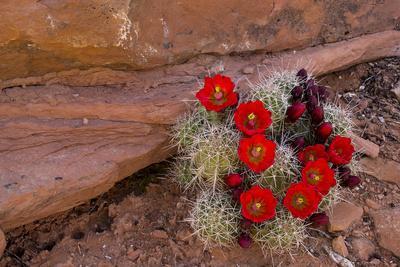 https://imgc.allpostersimages.com/img/posters/usa-utah-cedar-mesa-red-flowers-of-claret-cup-cactus-in-bloom-on-slickrock_u-L-Q12SZKE0.jpg?p=0