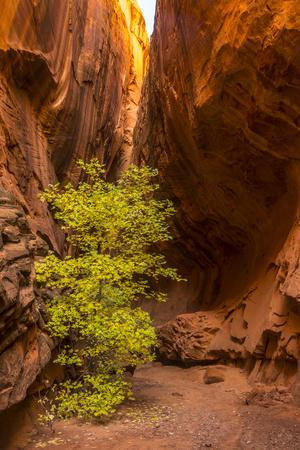 https://imgc.allpostersimages.com/img/posters/usa-utah-grand-staircase-escalante-national-monument-slot-canyon-cliff-and-tree-in-autumn_u-L-Q1H23YG0.jpg?artPerspective=n