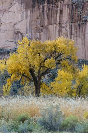 https://imgc.allpostersimages.com/img/posters/usa-utah-sandstone-cliff-face-and-autumn-cottonwood-trees-capital-reef-national-park_u-L-Q1H21TB0.jpg?artPerspective=n