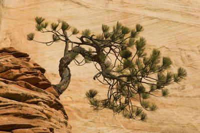 https://imgc.allpostersimages.com/img/posters/usa-utah-zion-national-park-pine-tree-growing-out-of-red-rocks_u-L-PU3GI60.jpg?p=0