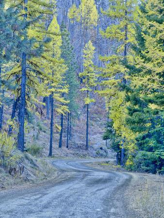 https://imgc.allpostersimages.com/img/posters/usa-wa-cle-elum-kittitas-county-forest-road-through-the-forest-of-western-larch-trees_u-L-Q1H24UG0.jpg?artPerspective=n