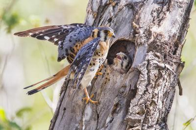 https://imgc.allpostersimages.com/img/posters/usa-wyoming-american-kestrel-male-at-cavity-nest-with-nestling_u-L-PU3HBA0.jpg?p=0