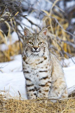 https://imgc.allpostersimages.com/img/posters/usa-wyoming-portrait-of-bobcat-sitting_u-L-PU3KH60.jpg?artPerspective=n