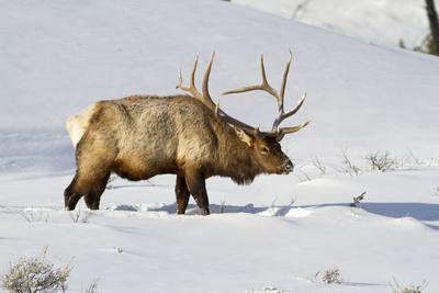 https://imgc.allpostersimages.com/img/posters/usa-wyoming-yellowstone-national-park-bull-elk-in-snow_u-L-PU3KJ90.jpg?artPerspective=n