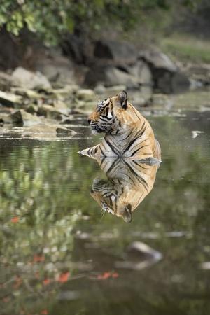 https://imgc.allpostersimages.com/img/posters/ustaad-t24-royal-bengal-tiger-tigris-tigris-ranthambhore-rajasthan-india_u-L-PWFS400.jpg?artPerspective=n