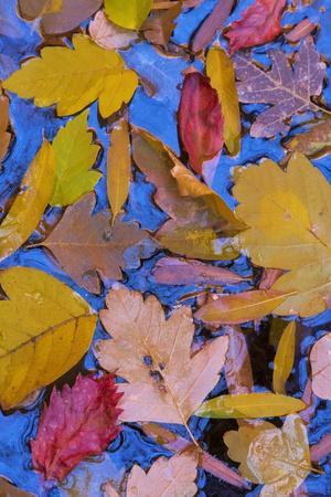 https://imgc.allpostersimages.com/img/posters/utah-glen-canyon-nra-fall-leaves-floating-on-a-pond_u-L-PU3NP90.jpg?p=0