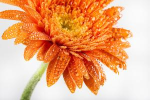 Gerbera in Orange by Uwe Merkel