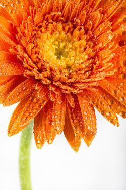 Gerbera in Orange by Uwe Merkel