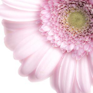 Gerbera in Rose by Uwe Merkel
