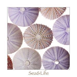 Maritime Still Life, Urchin Shell by Uwe Merkel