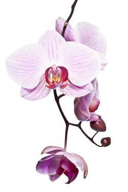 Pink Orchid by Uwe Merkel