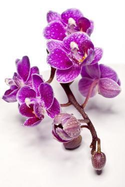 Violet Orchid by Uwe Merkel