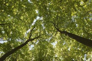 Wood, Tree Tops, Leaf Canopy by Uwe Merkel