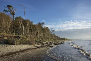 Birches on the Western Beach of Darss Peninsula by Uwe Steffens