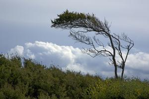 Windswept Trees, European Beech Bent from the Steady West Wind by Uwe Steffens