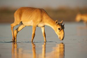 Saiga antelope drinking, Astrakhan, Southern Russia, Russia. Critically endangered species by Valeriy Maleev