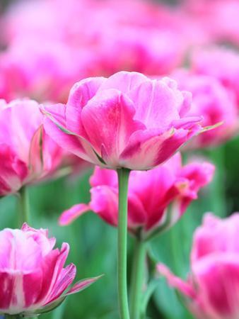 Queen of Marvel Tulip, Close-Up by Valitov Rashid
