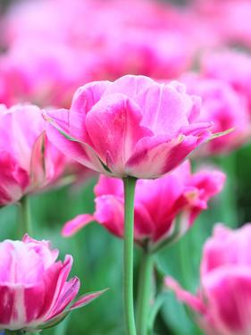 Queen of Marvel Tulip, Close-Up by Valitov Rashid
